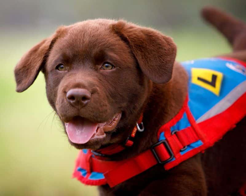 Blue Badge Insurance Announces Sponsorship with Assistance Dogs Australia